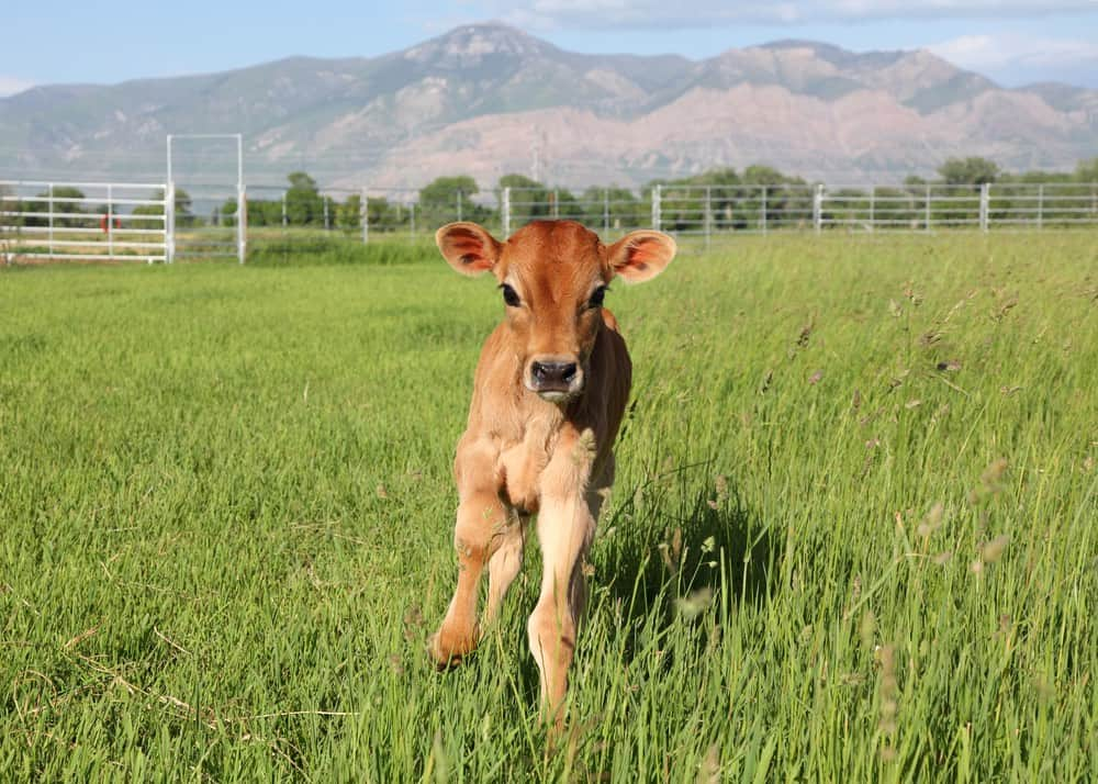 calf in a field