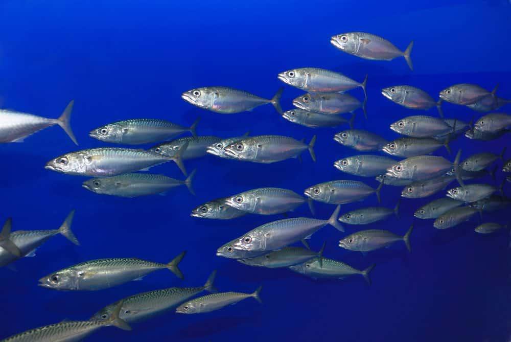 mackerel swimming free