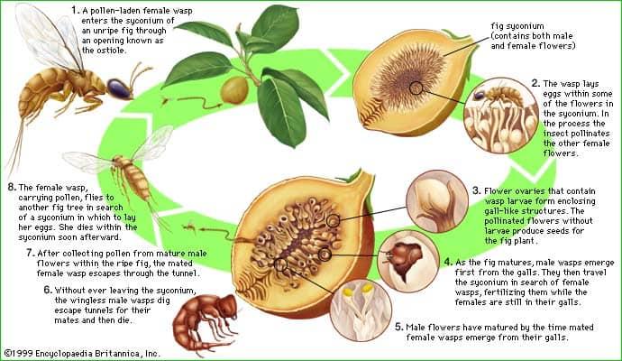 fig wasp life cycle