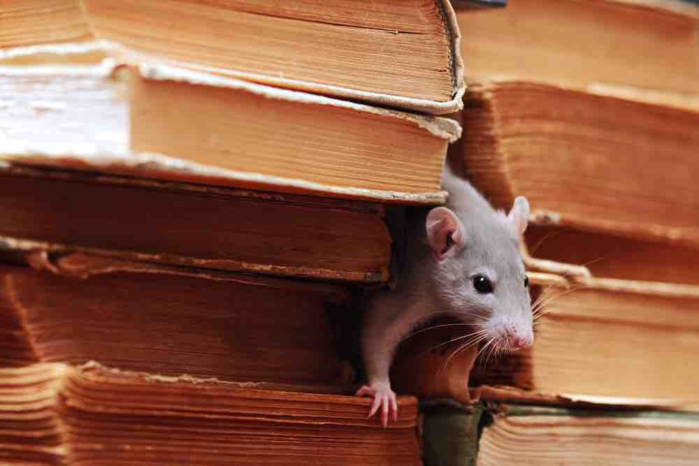 Little rat in a pile of books