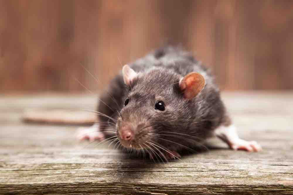 Best way to get rid of rats? Prevention!