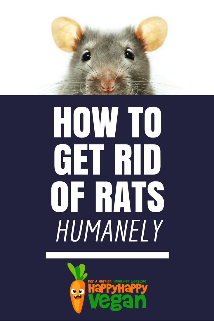 The Best Way To Get Rid Of Rats Humanely - Removal, Bait, And Prevention Tips Aplenty!