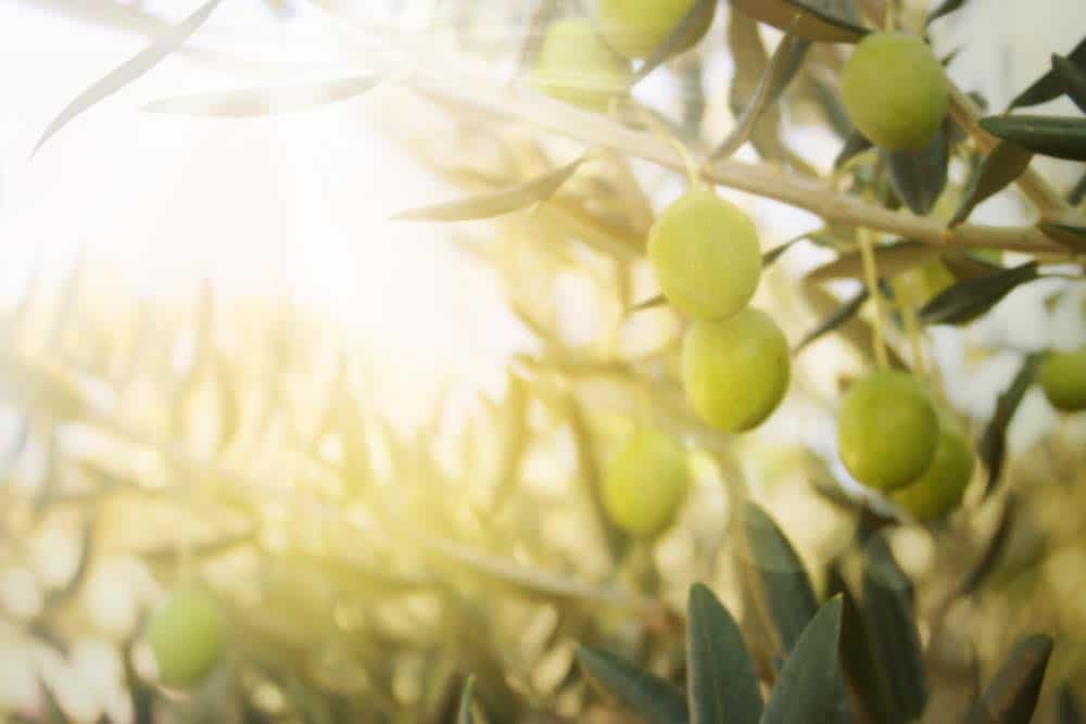 An established olive tree with olives on the branch and sunlight shining through the leaves