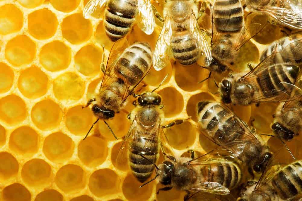 golden honeycomb with many bees working on it