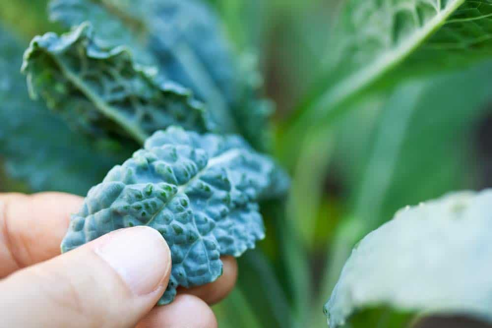 how to buy kale - fresh leaves growing