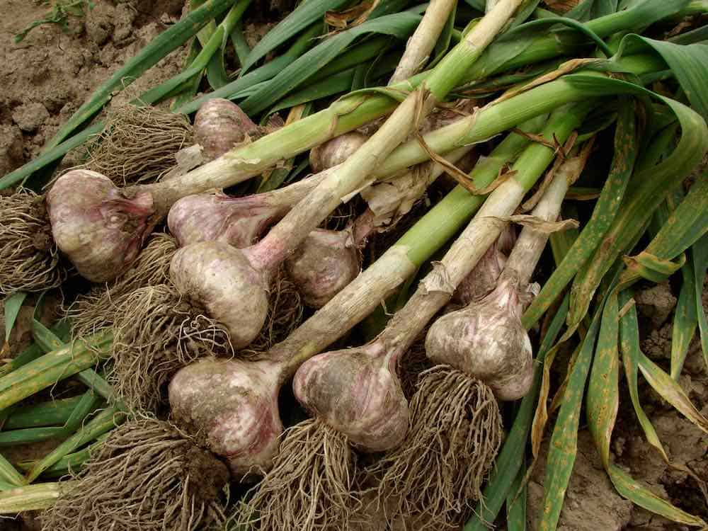 how to grow garlic and harvest bulbs