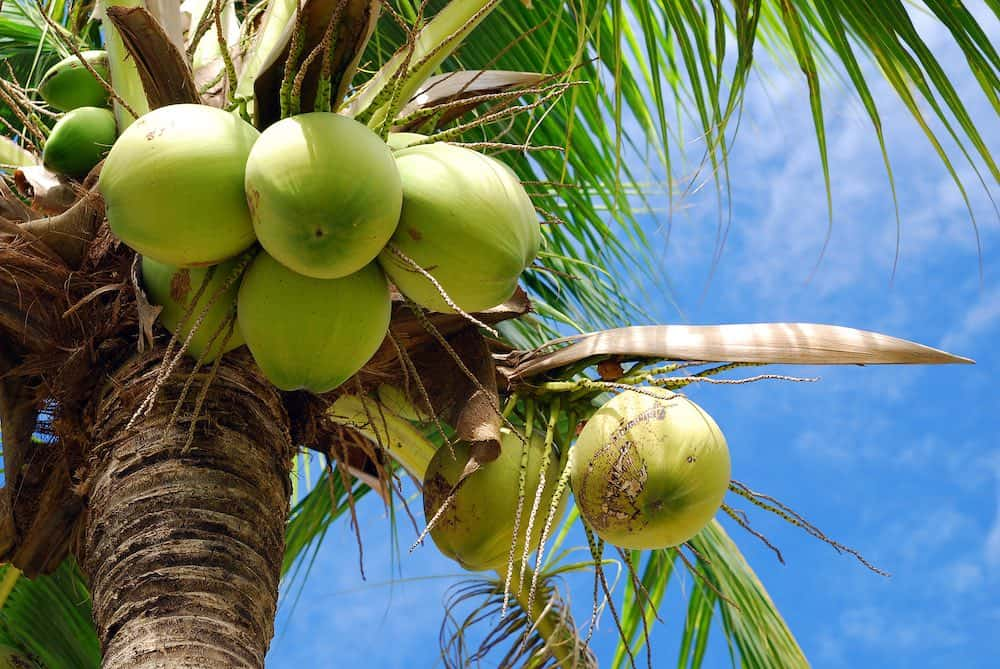 coconut palm with green fruits on show and a blue sky behind