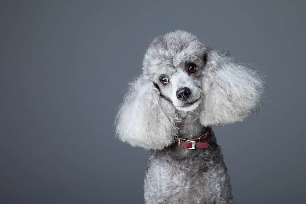 coconut for dogs - grey poodle against a darker gray background