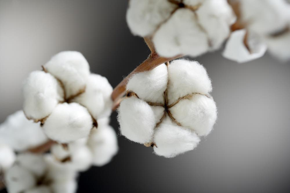 organic cotton on branch