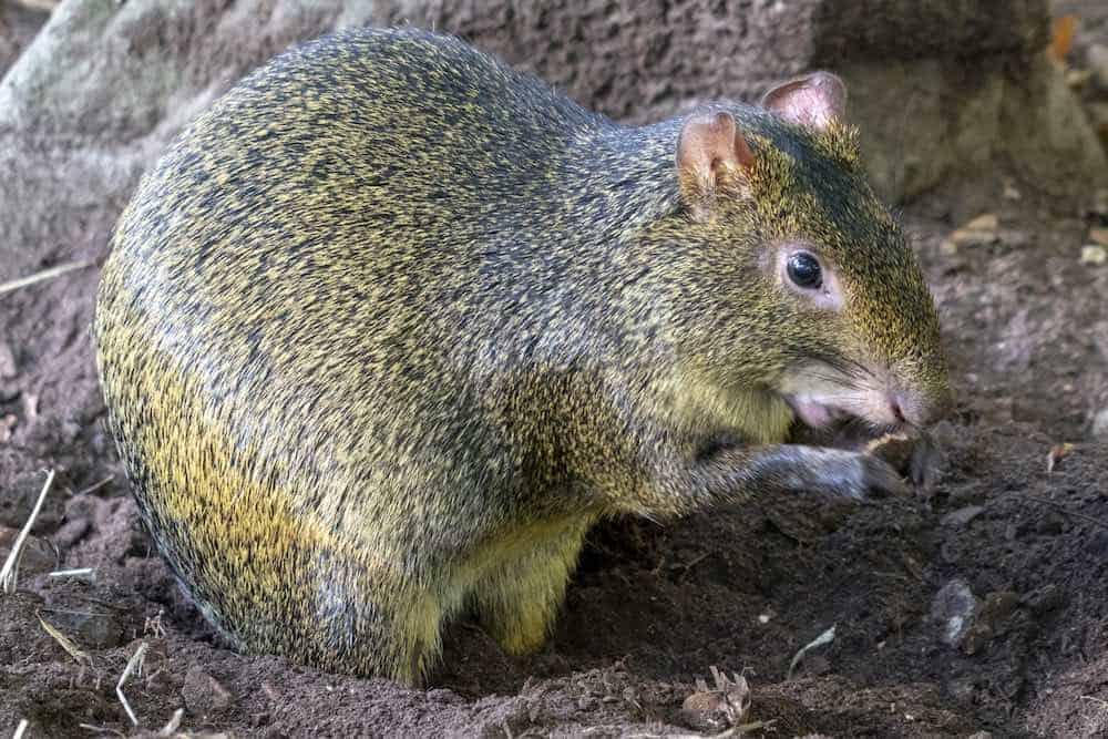 Agoutis help brazil nut tree reproduce