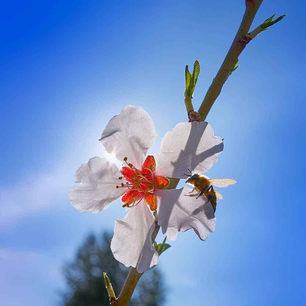 bee on an almond flower