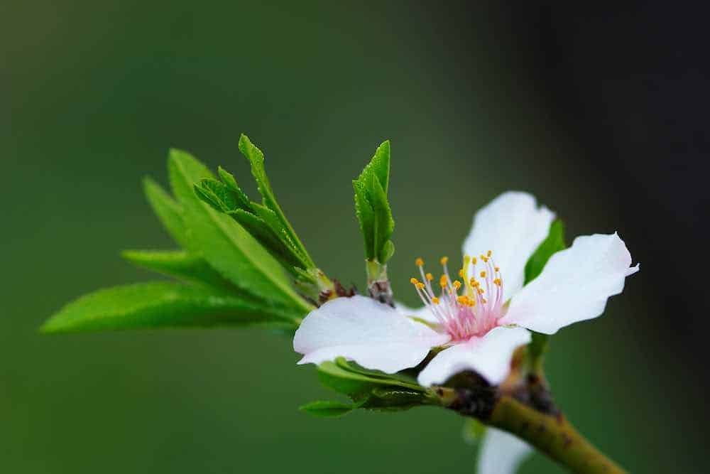 growing almonds at home - almond flower in bloom