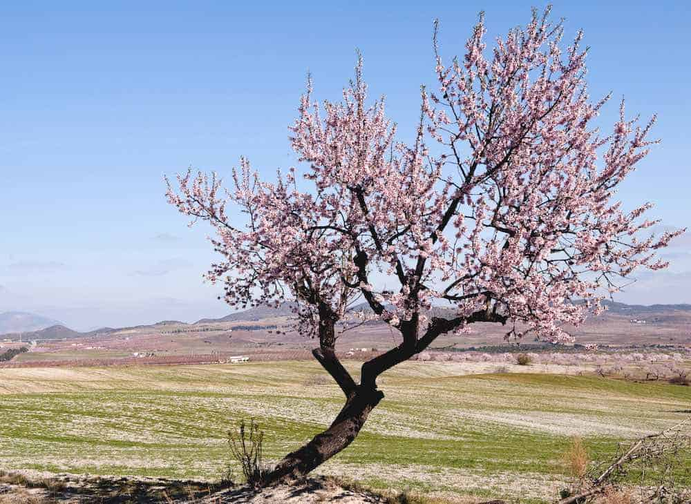 lone almond tree in blossom