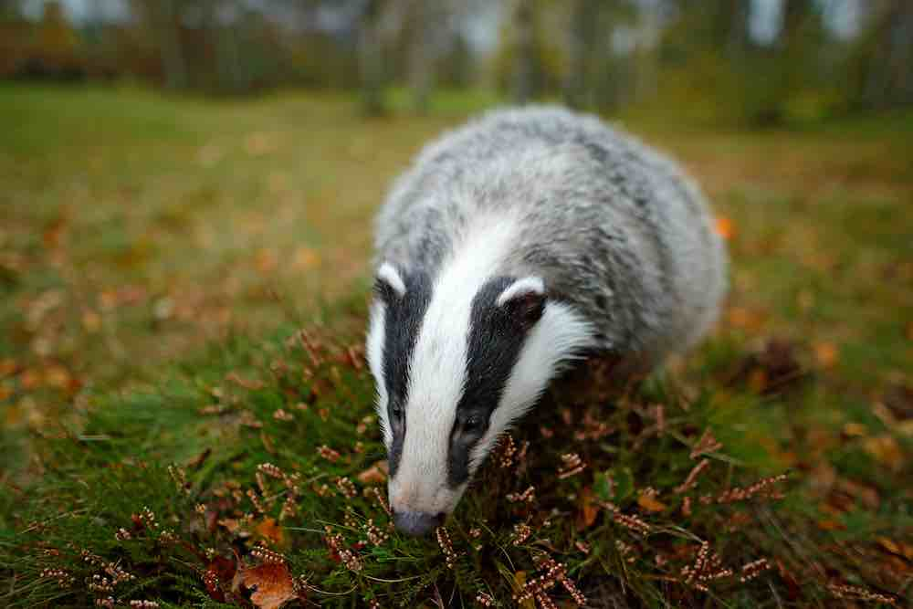 badger in natural habitat