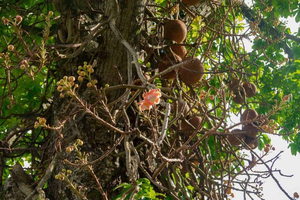 Brazil nut tree with blooming flower