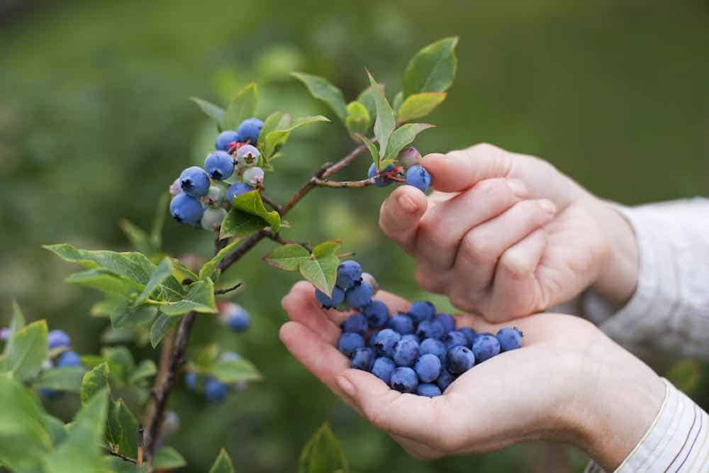 picking blueberries from a bush