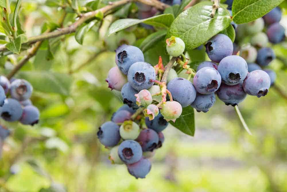 how to grow blueberries at home - blueberry bush