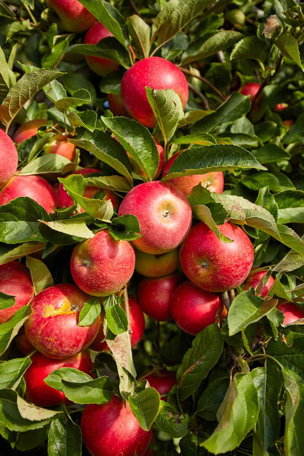 how to grow your own apples