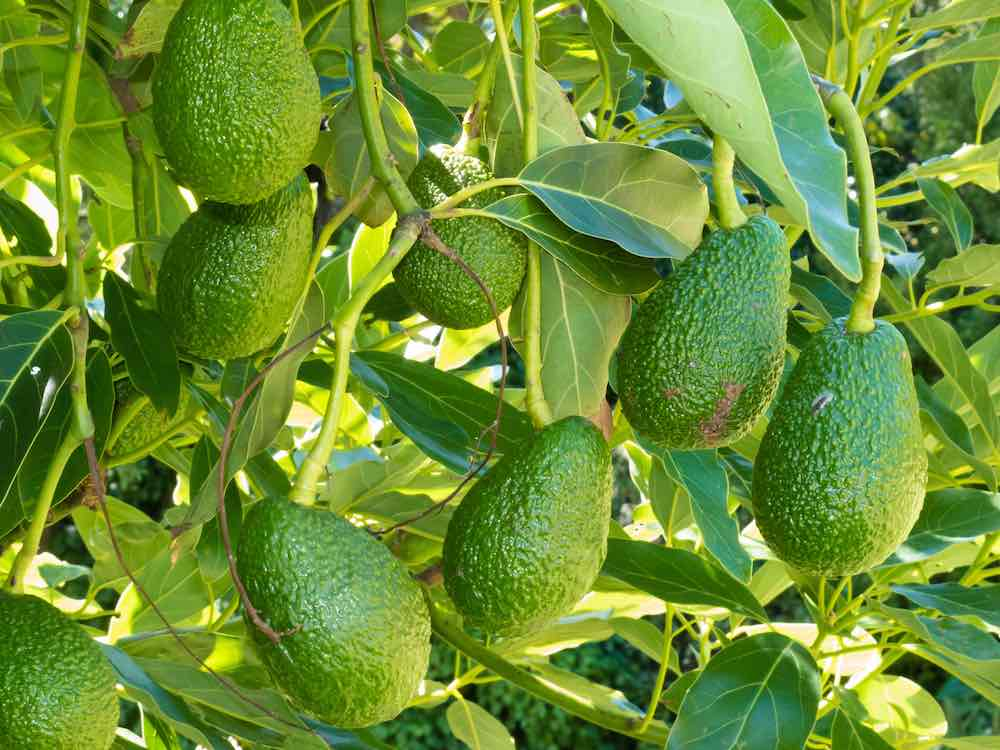 an avocado tree